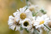 frozen chamomiles von Darius Norvilas