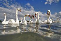 'Swans' von Albin Bezjak