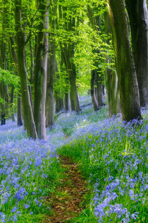Bluebells in Prior's Woods by Craig Joiner
