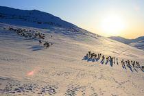 Reindeers crossing mountains von Bente Haarstad
