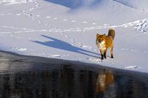 Fox von Denis Budkov