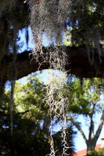 Spanish moss von ushkaphotography