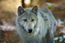 Grey wolf. Autumn by Vladimir Gramagin
