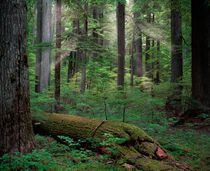 Old Growth Forest by Leland Howard
