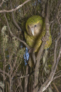 Kakapo ('Hoki') up in a manuka stand von Ross Curtis
