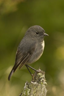 South Island Robin by Ross Curtis