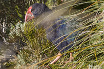 Takahe amongst the snow tussock by Ross Curtis