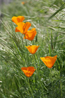 California-poppies