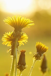 dandelions in yellow von Mike Griggs