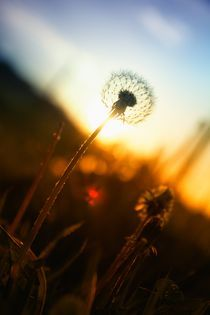 dandelion sunset von Mike Griggs