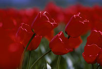 Red Tulips by Wolfgang Kaehler