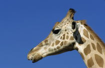 Rf-alert-animal-giraffe-head-pattern-wild-ani014