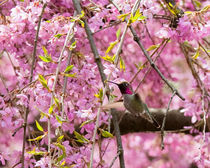 Anna's Hummingbird in Japanese Garden (landscape) by Chris Bidleman