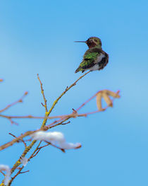Anna's Hummingbird in Winter von Chris Bidleman