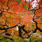 Branches-of-the-maple-in-fall