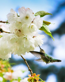 Hummingbird Blossom (portrait) by Chris Bidleman