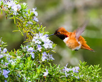 Rufous Hummingbird in the Rosemary (landscape) by Chris Bidleman
