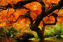 Japanese-maple-tree-in-fall