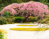Weeping cherry tree in Flat Garden of Japanese Garden by Chris Bidleman