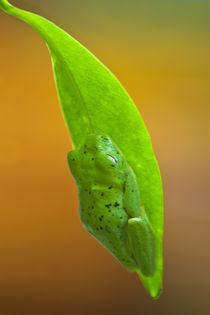 Lemur-frog-0263v1