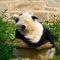 Panda-030v1
