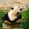 Panda-030v2