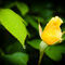 Yellow-rose-and-raindrops