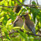 Two-cedar-waxwings-sharing-seed
