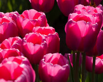 Violet-tulips-in-the-sun