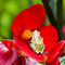 Pacific-tree-frog-in-a-begonia