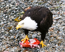 Sitka Bald Eagle with salmon by Chris Bidleman