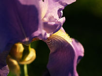 Violet flower close-up von Darko Dukaric