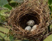 A Peek Inside (Cardinal Nest) by Howard Cheek