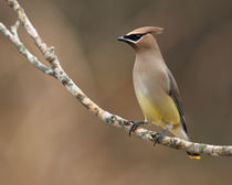 Christmas Waxwing (Cedar Waxwing) by Howard Cheek