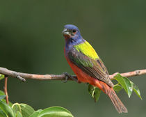 God's Paintbrush (Painted Bunting) by Howard Cheek