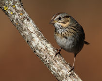Lincoln's Sparrow (Melospiza lincolnii) by Howard Cheek
