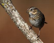 Lincolns-sparrow