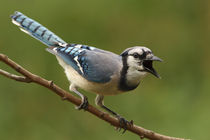 Loud Mouth (Blue Jay) by Howard Cheek