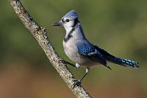 Personality Plus (Blue Jay) by Howard Cheek