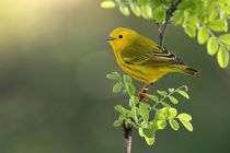 Yellow Warbler (Dendroica petechia) by Howard Cheek