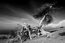 El Sabinar, Zedernwacholder auf El Hierro 1 by Frank Rother