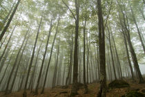 Beech forest with mist by Luca Baldassarre