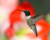 'Amaryllis Hummer (Archilochus alexandri)' by Howard Cheek