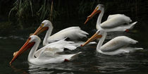 American White Pelicans by Howard Cheek