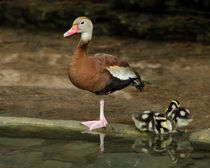 Black-bellied Whistling Duck Family by Howard Cheek