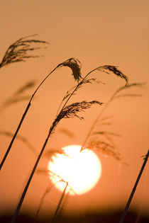 Setting Sun and Reeds by Geoff du Feu
