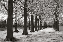 Poplar Trees by Geoff du Feu