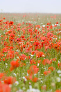 Poppy Field in Mist von Geoff du Feu