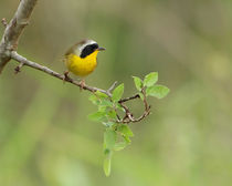 Yellowthroat Warbler (Geothlypis trichas) by Howard Cheek