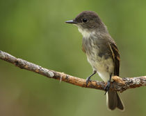 Eastern Phoebe (Sayornis phoebe) by Howard Cheek